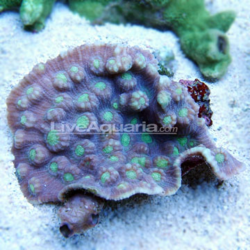 Sw green eyed cup coral fiji small