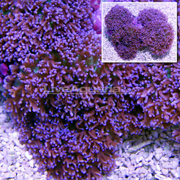 Saltwater Aquarium Corals For Marine Reef Aquariums