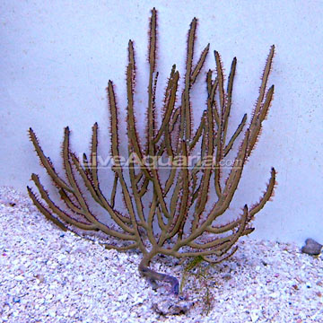 Green Lace Gorgonian