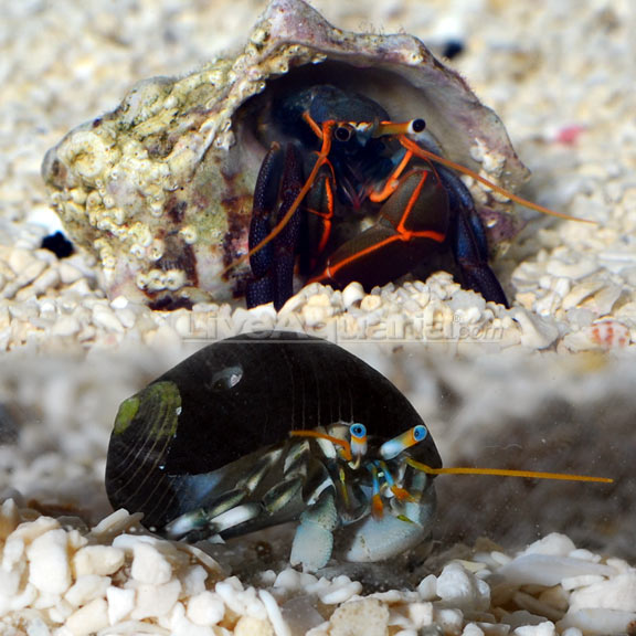 Dwarf Zebra/Orange & Black Hermit Crab
