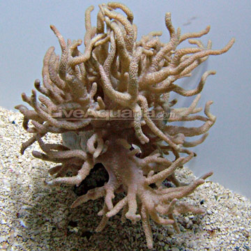 Spaghetti Finger Leather Coral