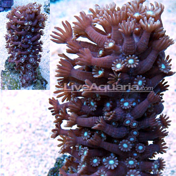 Alveopora Coral, Branched