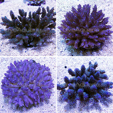 Bushy Acropora Coral, Purple/Blue