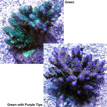 Sw tenuis acropora coral green w purple tips maricultured