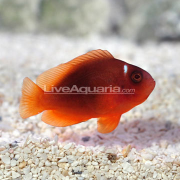 Red Saddle Clownfish, Captive-Bred