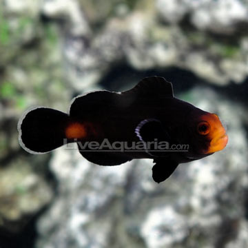 Midnight Ocellaris Clownfish, Captive-Bred