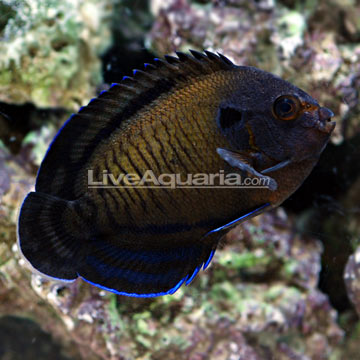 Bluefin Angelfish