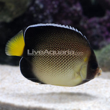 Xanthurus Cream Angelfish