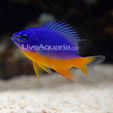 دامسل آزور ( azure damsel fish )