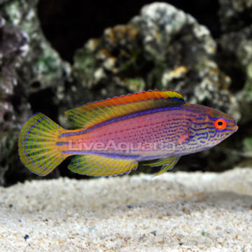 Saltwater fish for marine aquariums lineatus fairy wrasse for Best reef safe fish