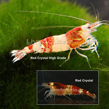 Red Crystal Shrimp