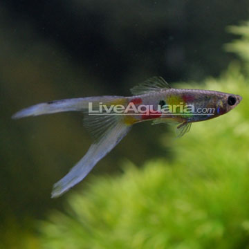 Tropical Fish for Freshwater Aquariums: Lyretail Guppy Livebearers