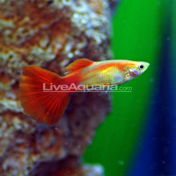 Orange Sunshine Guppy (Pair)