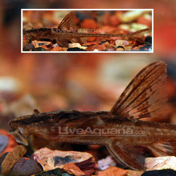 Red Lizard Whiptail Plecostomus (L-10A)