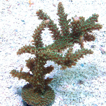 Green Staghorn