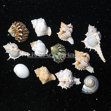 Empty Fancy Hermit Crab Shells (12 lot)