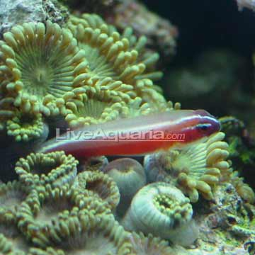 Red Neon Eviota Goby