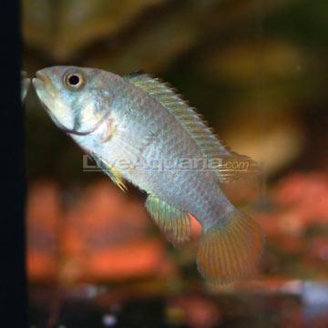 Tropical Fish for Freshwater Aquariums: Panda Dwarf Cichlid