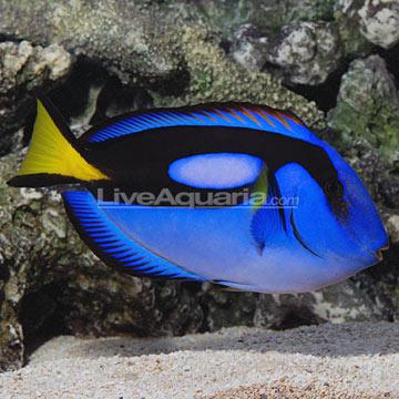 جراح ماهی آبی ( blue tang )