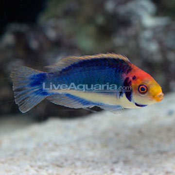 ... Aquarium Fish for Marine Reef Aquariums: Red Head S
