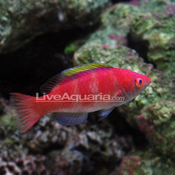 الاسم/ Yellow-fin Fairy Wrasse