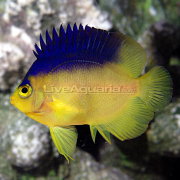Colin's Angelfish EXPERT ONLY