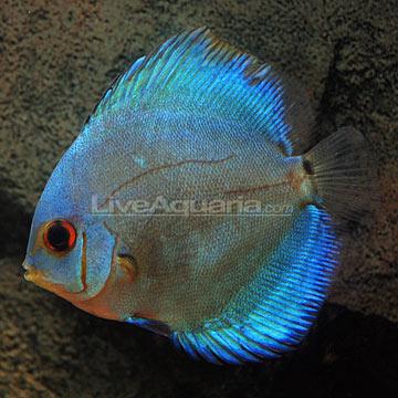 Home > Otocinclus Catfish > Discus > Blue Diamond Discus