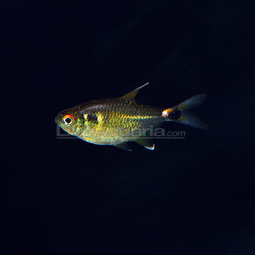 tropical fish for freshwater aquariums: head and tail light tetra, Reel Combo