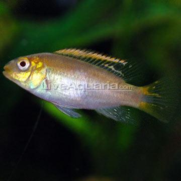 Tropical Fish for Freshwater Aquariums: Albino Kribensis African ...
