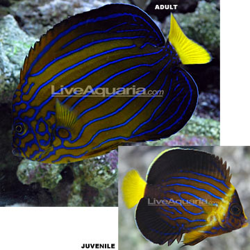 Blueline Angelfish