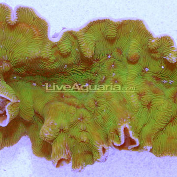 Sw wrinkle leptoseris coral small