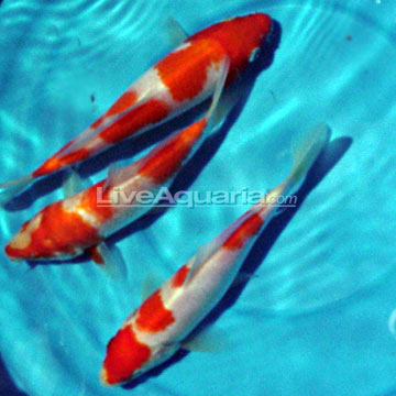 High quality koi fish for freshwater garden ponds kohaku for Koi pond water quality