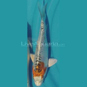 High quality koi fish for freshwater garden ponds shusui for Koi pond kh level