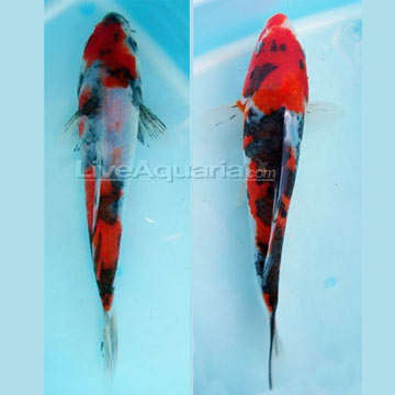 Showa High Quality Koi, Japan Strain