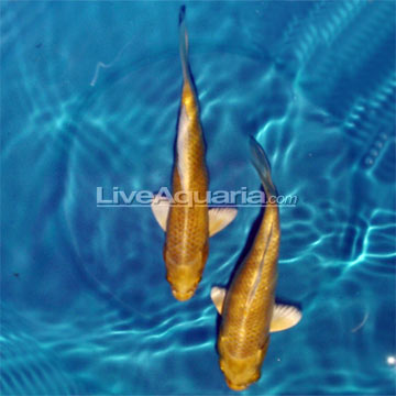 Yamabuki Ogon High Quality Koi, Japan Strain
