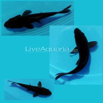 High quality koi fish for freshwater garden ponds black for All black koi fish