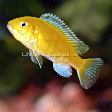I saw a small cute yellow fish at petsmart but i dont know for Good freshwater fish