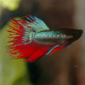 Crown Tail Betta