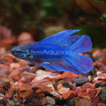 Twin Tail Betta