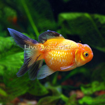 Crown Pearlscale Goldfish