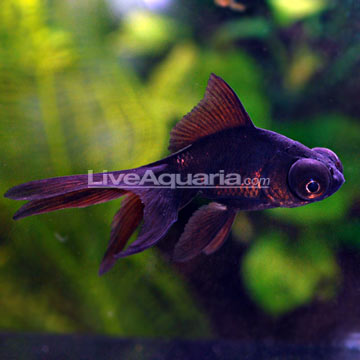 Tropical Fish for Freshwater Aquariums: Black Moor Goldfish