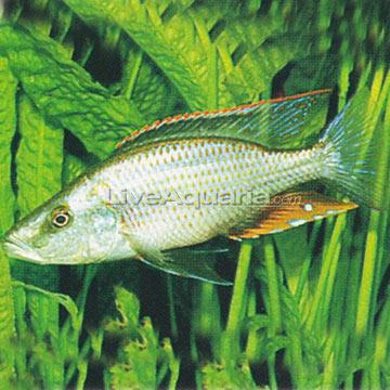 Compressiceps+Cichlid Compressiceps Cichlid (Dimidiochromis ...