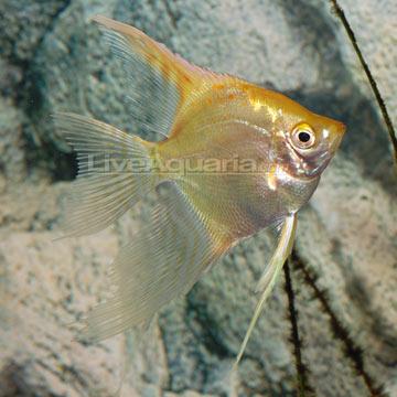 Tropical Fish for Freshwater Aquariums: Gold Veil Freshwater Angelfish