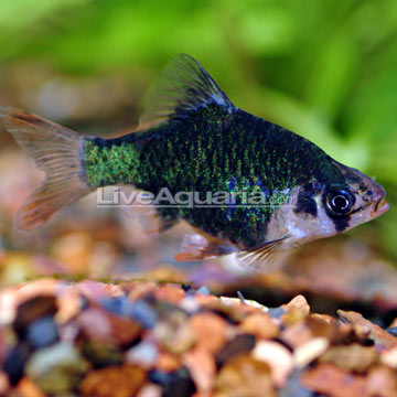 Tiger Barb Fish on Tropical Fish For Freshwater Aquariums  Green Tiger Barb