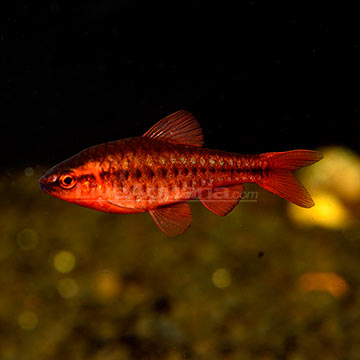 Tropical fish for freshwater aquariums cherry barb for Cherry barb fish