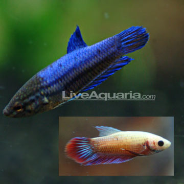 Tropical fish for freshwater aquariums betta female for Pictures of female betta fish