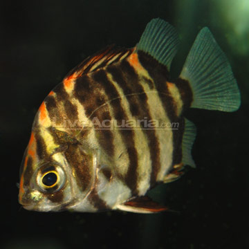 Image gallery mono scat for Archer fish for sale