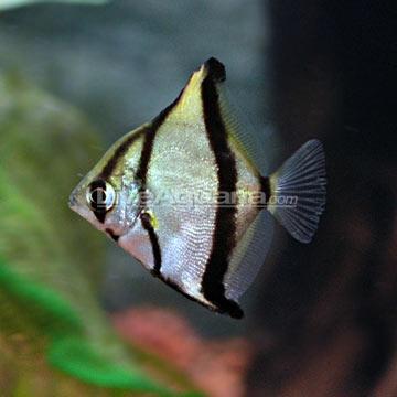 Tropical Fish for Brackish Aquariums: Mono Sebae