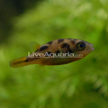 Indian Dwarf Puffer