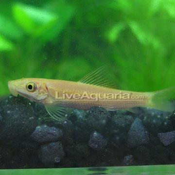 Tropical freshwater aquarium fish gold algae eaters for White algae in fish tank